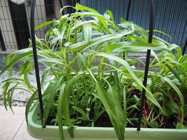 収穫適期の空芯菜