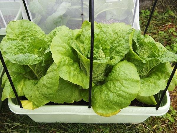 収穫適期のミニ白菜
