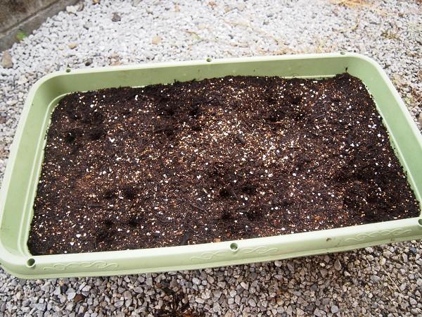 ミニ大根の種まき