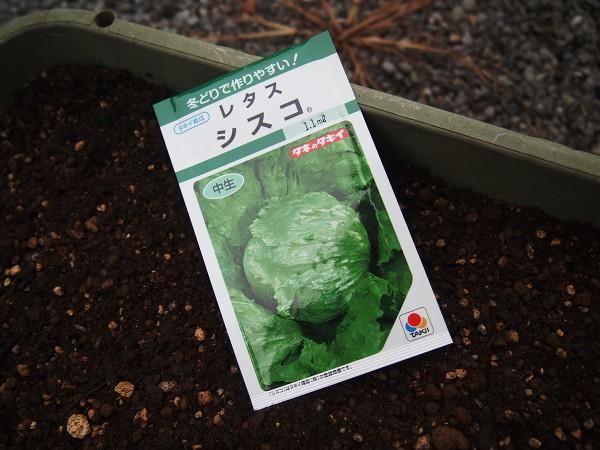 玉レタスの種