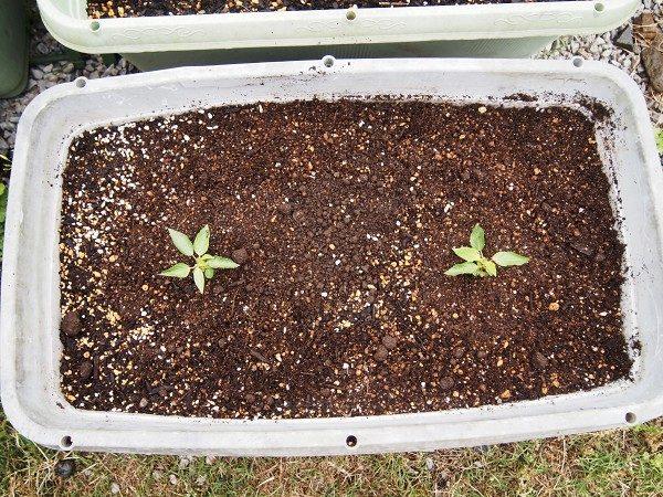 モロヘイヤの苗の植えつけ