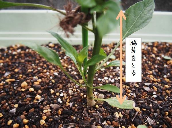 シシトウの芽かき