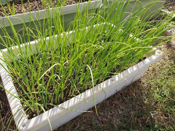 植え付け適期のタマネギの苗