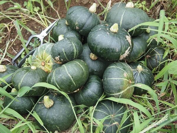 畑で収穫したミニカボチャ