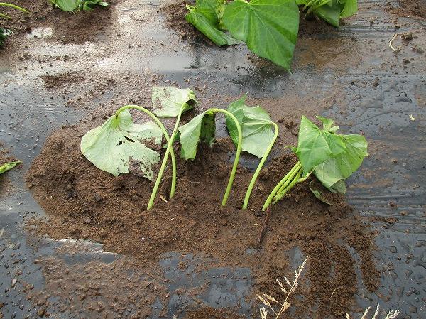 植えつけたサツマイモの苗