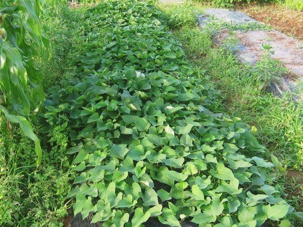 栽培中のサツマイモ