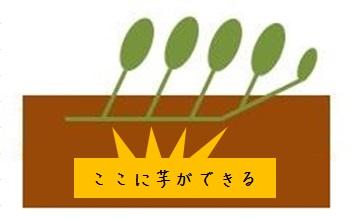 サツマイモは苗の節に芋ができる