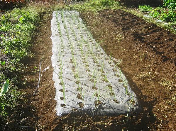タマネギの苗を植えたところ