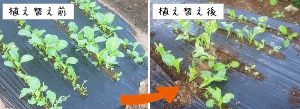 植え替えた小松菜