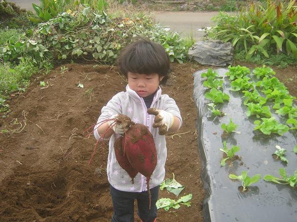 子供が収穫したサツマイモ