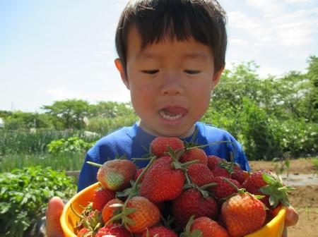 イチゴを収穫して喜ぶ息子