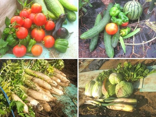 収穫した美味しい野菜