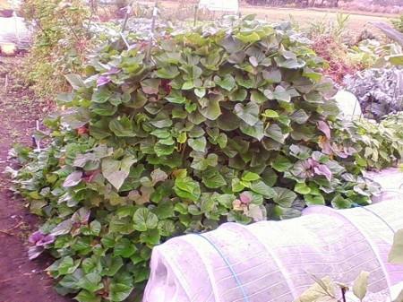 サツマイモの支柱栽培