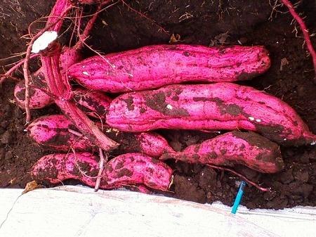 支柱栽培で収穫した紅あずま