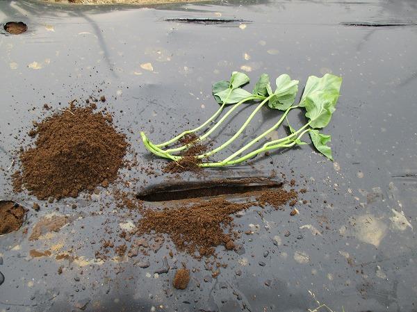植え穴を作る