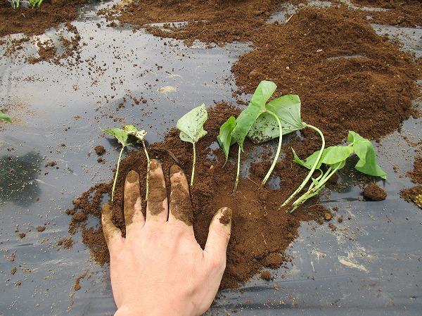 植え付けた苗の周りを手のひらで強く鎮圧