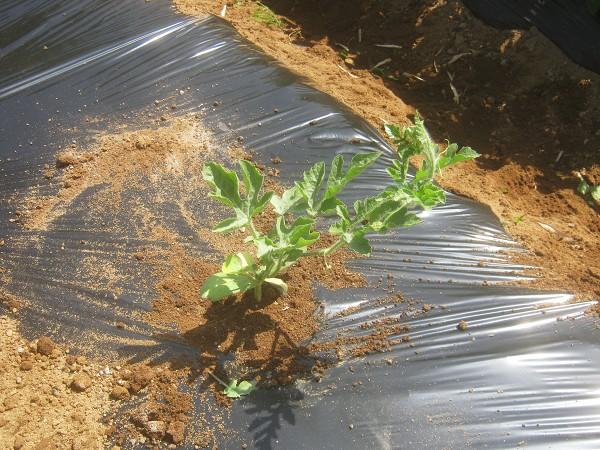 植えた小玉スイカの苗