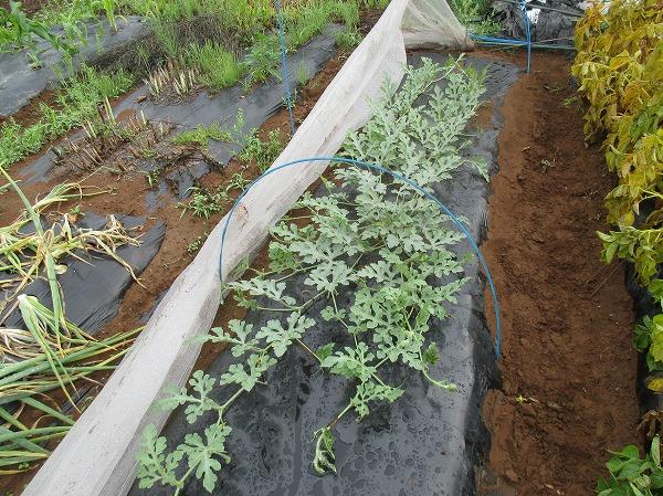栽培中の小玉スイカ