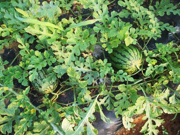 収穫適期の小玉スイカ