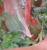 小玉スイカの空中栽培
