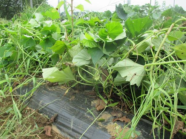 サツマイモの蔓を畝の上に乗せる