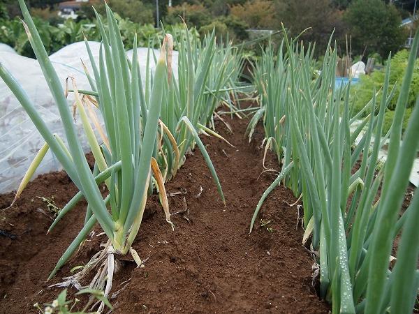栽培中の長ネギ