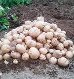 ジャガイモの育て方まとめ