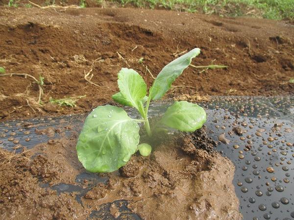 畝に植えつけたキャベツの苗(一株)