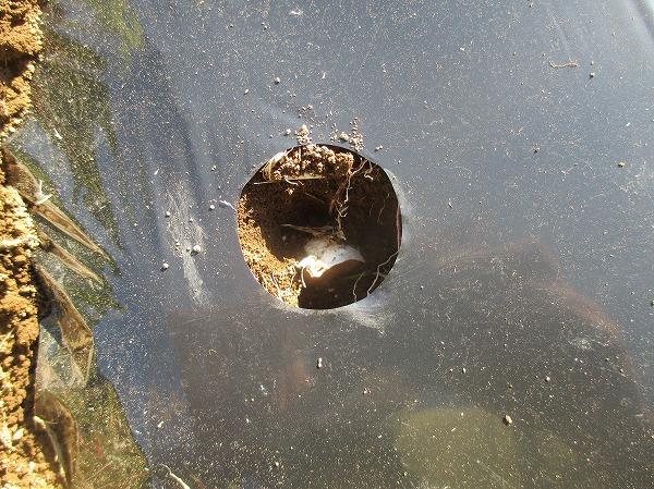ニンニクの鱗片を植え付けたところ