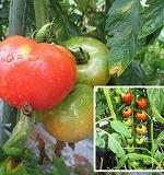 トマトの育て方まとめ