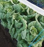 白菜の育て方まとめ