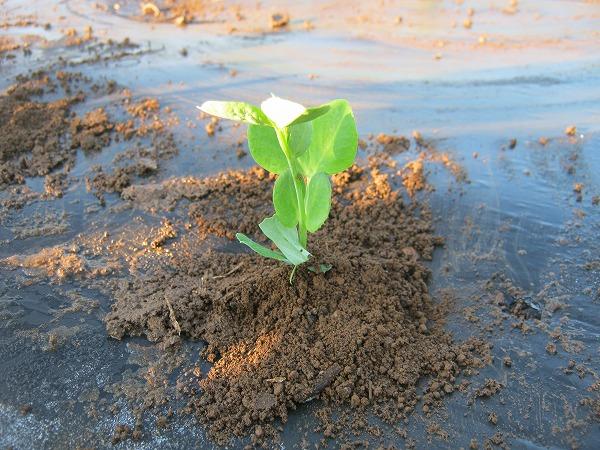 畑に植え付けたエンドウ