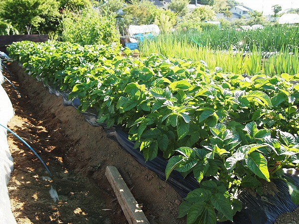 黒マルチを使用したジャガイモの栽培