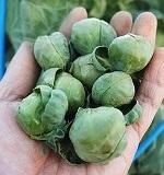 芽キャベツの育て方