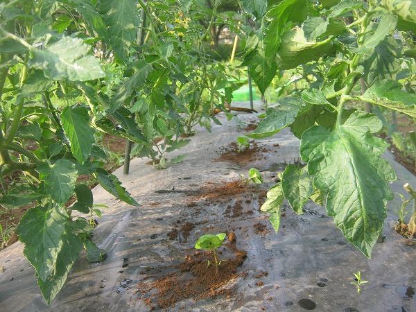 トマトの株間に植え付けたバジル