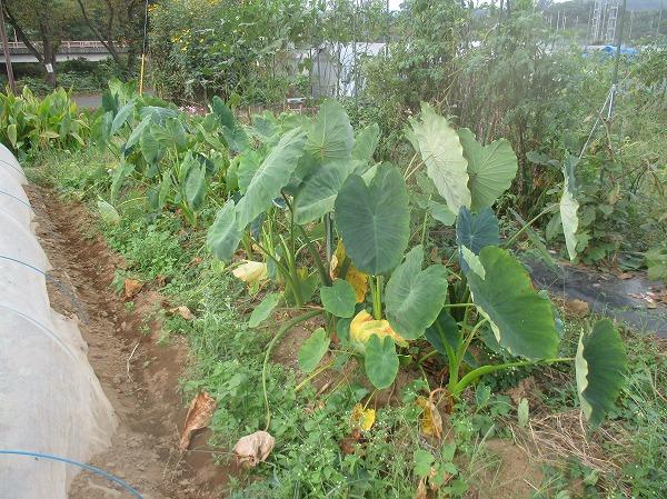収穫時期の里芋