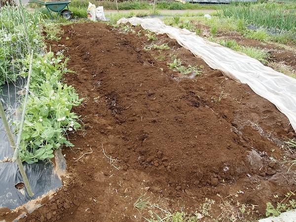 里芋の畑の準備