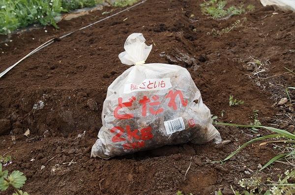 里芋の品種-土垂れ