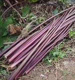 赤い茎の品種は茎も食べられる