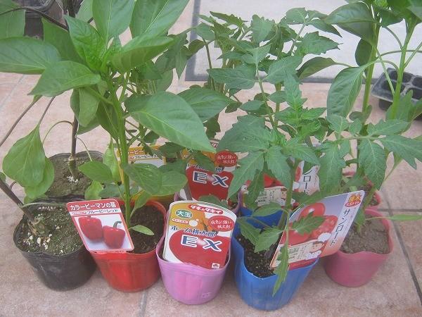 通販で購入した野菜の苗