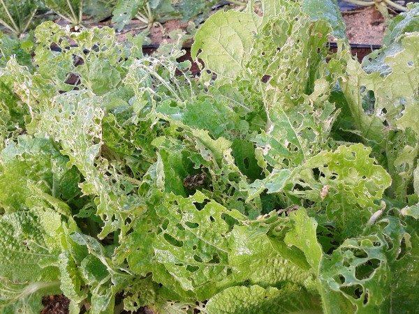 害虫に食害された白菜