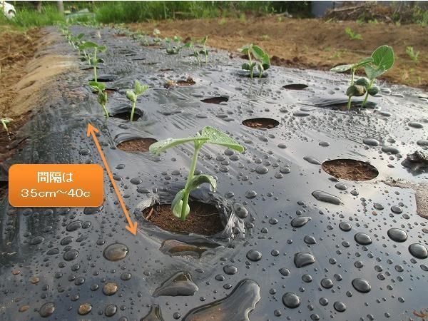 畝に植えつけた枝豆