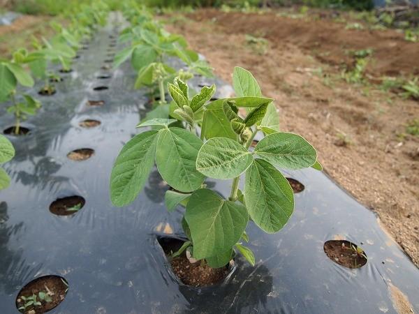 本葉が5~6枚になった枝豆