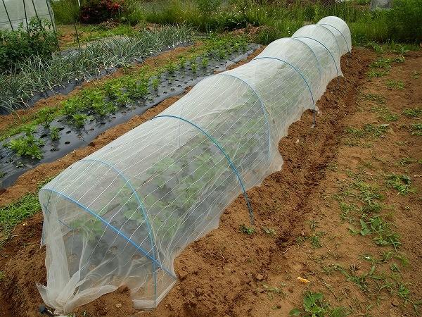 枝豆の畝に防虫ネットのトンネルをしたところ