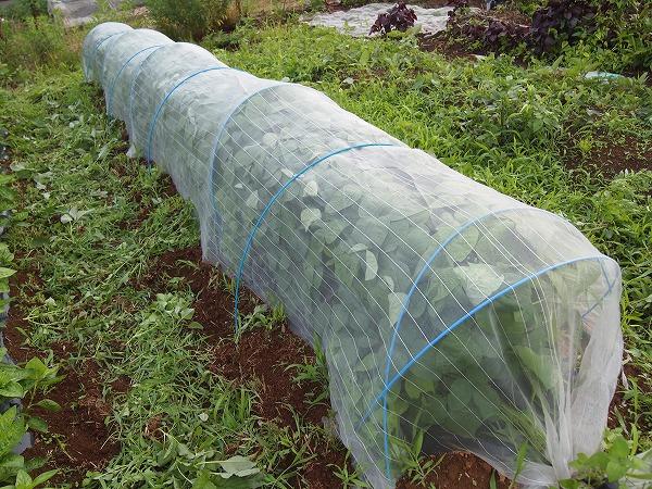 防虫ネットのトンネルで枝豆を栽培