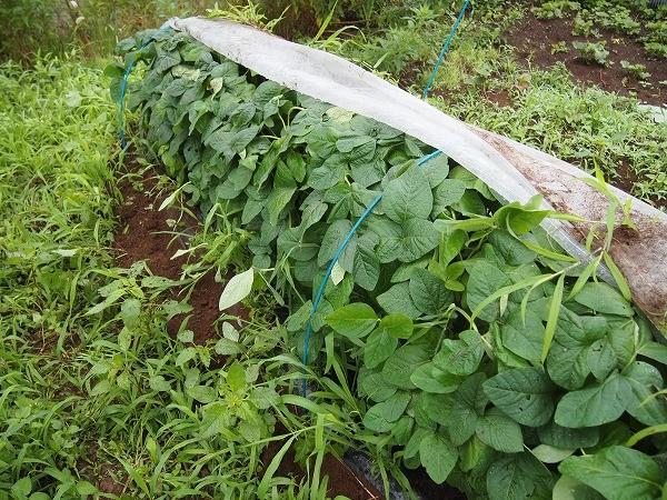 収穫時期を迎えた枝豆の畝