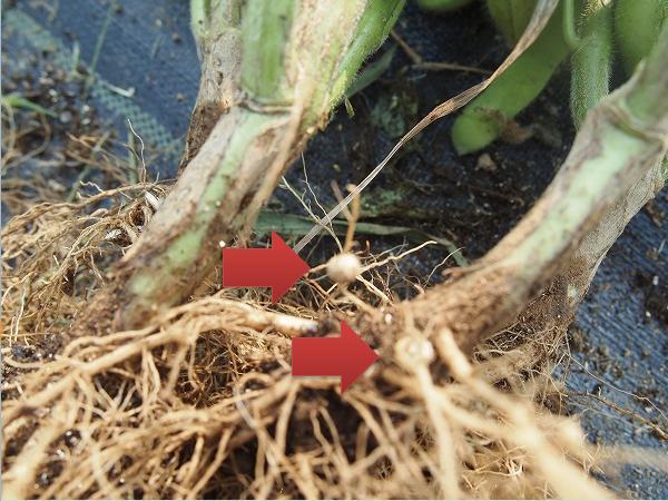 枝豆の根に付いた丸い粒
