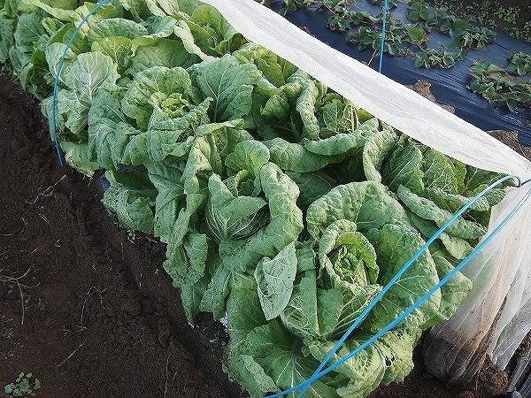 収穫時期を迎えた白菜