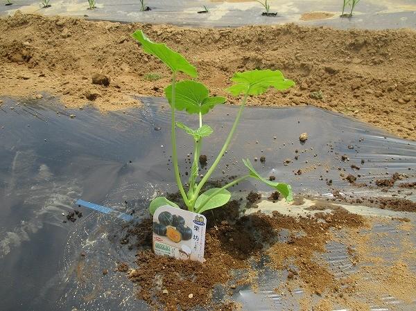 ミニカボチャを植えたところ