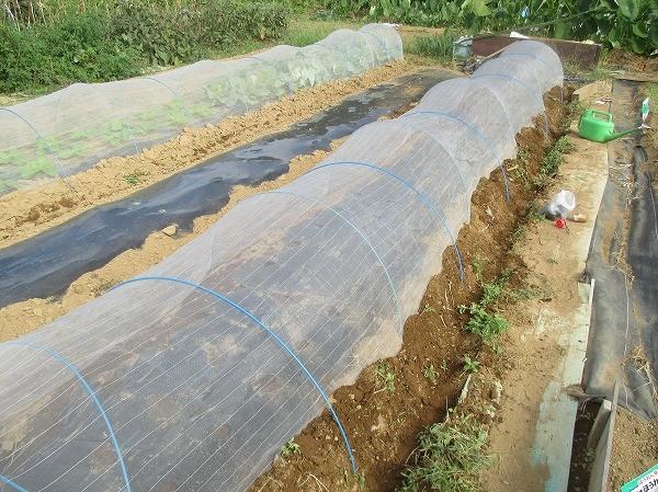 種まき後に防虫ネットや寒冷紗でトンネルをする